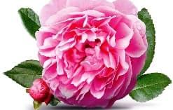 Růže - krásné, voňavé a léčivé